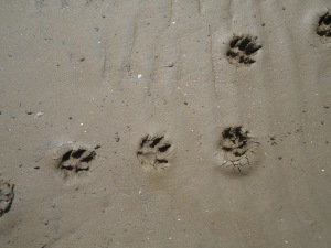 Pawprints in the sand